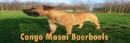 Boerboel Züchter Niederlande